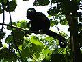 Howler monkey (9823904676).jpg