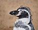 Humboldt penguin during moult.jpg