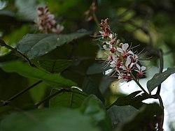 Humboldtia brunonis Wall. (16098651219).jpg