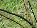 Hume's Warbler (Phylloscopus humei) (48088919703).jpg