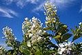 Hydrangea paniculata Tardiva 8zz.jpg