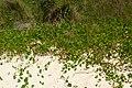 Hydrocotyle bonariensis (6820574589).jpg
