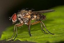FAMILY ANTHOMYIIDAE (Root-maggot Flies) - elp.tamu.edu
