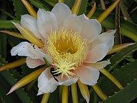 Hylocereus monacanthus246651749