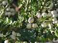 Hymenanthera crassifolia0.jpg