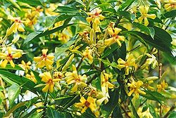 Hymenosporum flavum flowers Port Macquarie.jpg