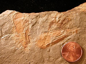 Hyolitha - Hyolithes cerops, Spence Shale, Idaho (Middle Cambrian)