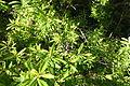 Hypericum canariense - Jardín Botánico de Barcelona - Barcelona, Spain - DSC09084.JPG