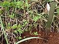 Hypericum macrosepalum-00.JPG