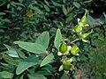 Hypericum moserianum Hidcote 2016-09-10 4306.jpg