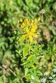 Hypericum perforatum in Haute-Savoie (1).jpg