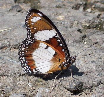 Hypolimnas missipus M-un 9872 ckup