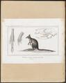 Hypsiprymnus murinus - 1838 - Print - Iconographia Zoologica - Special Collections University of Amsterdam - UBA01 IZ20300033.tif