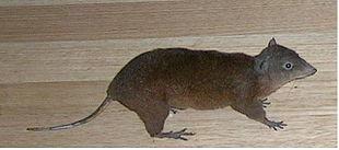 Hypsyprymnodon moschatus.JPG