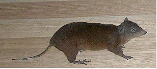 Hypsiprymnodontidae family of mammals