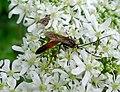 Ichneumon Wasp. probably Alomya semiflava male - Flickr - gailhampshire.jpg