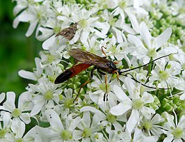 Ichneumon Wasp. probably Alomya semiflava male - Flickr - gailhampshire.jpg