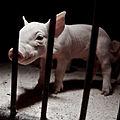 Igualdad Animal - Investigación Granjas Cerdos Toledo - 15-06-2010 - 38 (7138386315).jpg