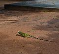 Iguana no Parque das Dunas.jpg