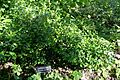 Ilex cornuta - Zilker Botanical Garden - Austin, Texas - DSC08766.jpg