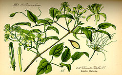 Illustration Clematis vitalba0.jpg
