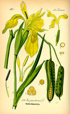 Illustration Iris pseudacorus0.jpg