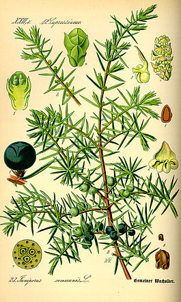 Illustration Juniperus communis0.jpg