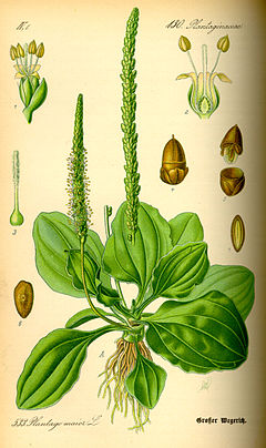 """Ženska bokvica"" (Plantago major)"