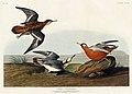 Illustration from Birds of America (1827) by John James Audubon, digitally enhanced by rawpixel-com 256.jpg