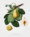 Illustration from Pomona Italiana Giorgio Gallesio by rawpixel00023.jpg