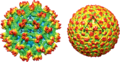 Image reconstructions from cryo-electron micrographs of flavivirus.png