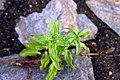 Impatiens capensis 7zz.jpg