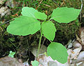 Impatiens pallida - pale jewelweed - desc-habit.jpg