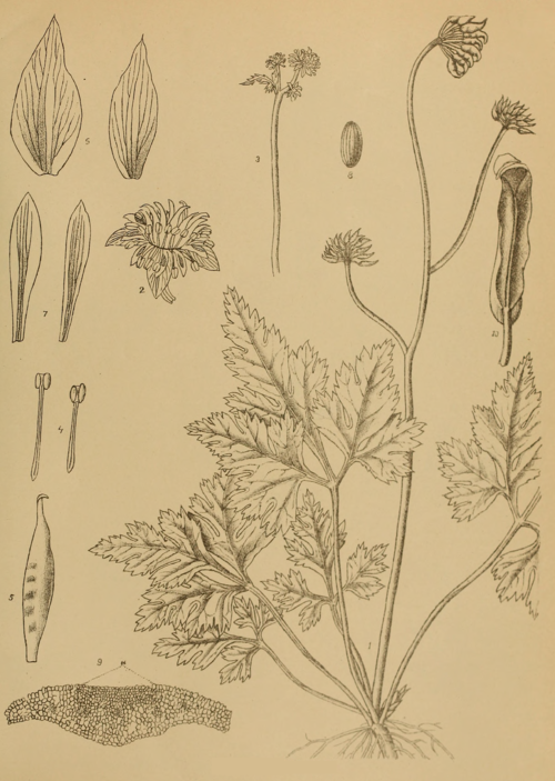 Indian Medicinal Plants - Plate 6 - Coptis teeta.png