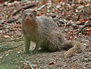 Indian Mongoose (Herpestes javanicus)- is it- at Hyderabad, AP W 101.jpg