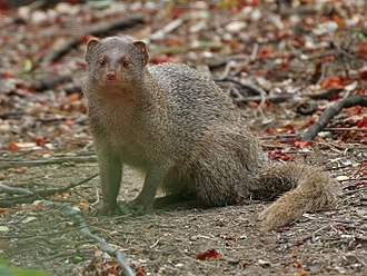 Indian grey mongoose - Image: Indian Mongoose (Herpestes javanicus) is it at Hyderabad, AP W 101