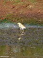 Indian Pond Heron (Ardeola grayii) (15706418220).jpg