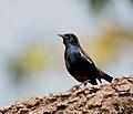 Indian Robin (Saxicoloides fulicata) in Kawal, AP W IMG 2175.jpg