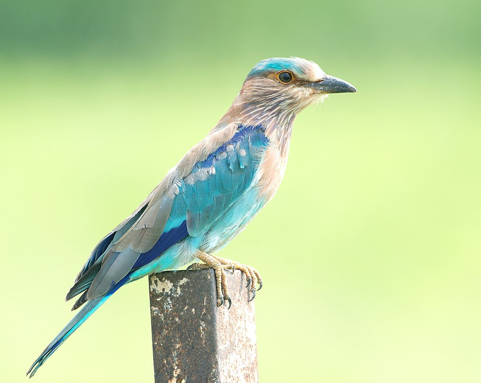Indian Roller (View Large) (7919700760)