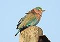 Indian Roller Coracias benghalensis by Dr. Raju Kasambe DSCN1467 (2).jpg