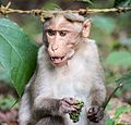 Indian monkey close up.jpg