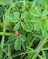 Indigofera trifoliata 02.JPG