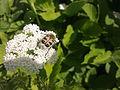 Insecte sur une fleur blanche d'apaicée à Grez-Doiceau 002.jpg