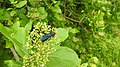 Insects Wasp from Madayipara DSCN2108.jpg