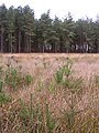Inside the Ipley Inclosure, New Forest - geograph.org.uk - 70506.jpg