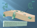 Interaction of omega-3s with cardiac cell membrane.png