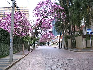 Southeast Region, Brazil - Ipê in Campinas.