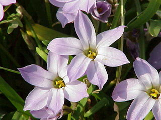 <i>Ipheion</i> genus of plants