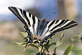 Iphiclides feisthamelii male.jpg