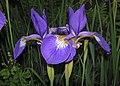 Iris virginica (Virginia iris) (Newark, Ohio, USA) 11 (27706997292).jpg